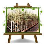 EURO PLANTS VIVAI Olivier arbre olives Cipressino Plante fruitière sur... par LeGuide.com Publicité
