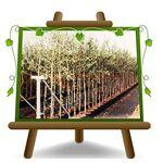 EURO PLANTS VIVAI Olivier arbre olives Leccio de la corne Plante fruitière... par LeGuide.com Publicité
