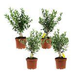 Choice of Green Olea europaea ou olivier set de 4 pièces Plante d'intérieur... par LeGuide.com Publicité