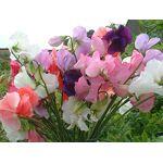 AGROBITS Fleur est de Senteur Mammouth Mélangées 100 Graines Fleur... par LeGuide.com Publicité