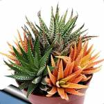 astonish  Astonish : 06: 100 Pcs Aloe Vera Succulente Plante Vivace Anti-Rayonnement... par LeGuide.com Publicité