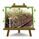 EURO PLANTS VIVAI Olivier arbre olives moulin à huile Plante fruitière... par LeGuide.com Publicité