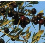 Vivai Gardenhome Olivo Moraiolo Arbre : L'olivier de variété Moraiolo... par LeGuide.com Publicité