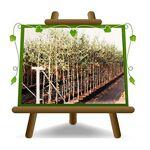 EURO PLANTS VIVAI Olivier arbre olives Rosciola Plante fruitière sur... par LeGuide.com Publicité
