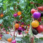 GEOPONICS Gemini_mall Graines de tomate arc-en-Jardin Graines de légumes... par LeGuide.com Publicité