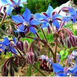 Legutko Graines de bourrache Borago officinalis BOURRACHE est une plante... par LeGuide.com Publicité