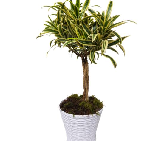 la mimosa pianta di dracena