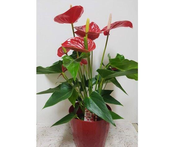 la mimosa pianta di anthurium rossa