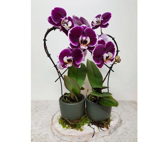 la mimosa doppia orchidea phalenopsis a forma di cuore