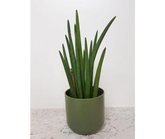 la mimosa pianta di sansevieria completa di vaso in ceramica