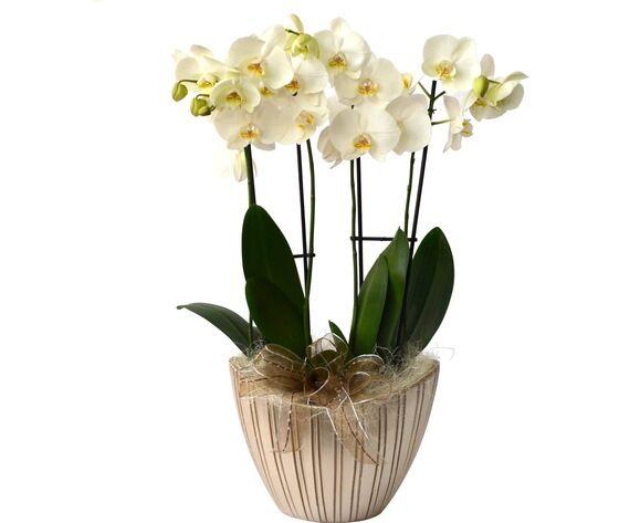 orchidea 4 rami