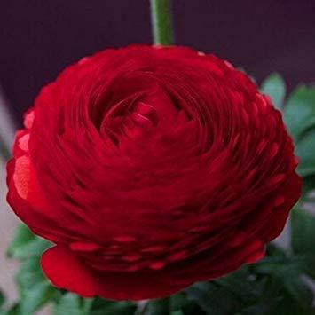 ASTONISH Pacchetto semi: noi Semi per la casa e giardino semi fai da te persiane semi ercup Seed - 20pcs / lot