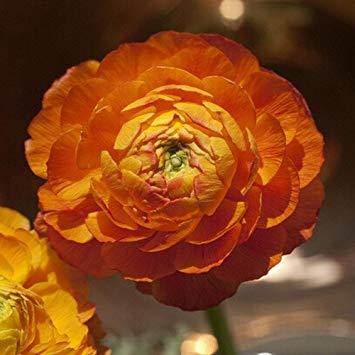 GEOPONICS noi Semi per la casa e giardino semi fai da te persiane semi ercup Seed - 20pcs / lot
