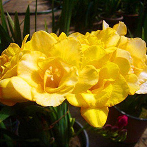 SVI 100 semi Mix semi fresie, splendido giardino di casa fai da te colorato e profumato fiore pianta fiori recisi, giardino, decorazione balcone