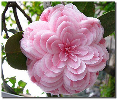 SVI 5 semi di camelia, piante in vaso, fai da te Casa e giardino ricco di fiori perenne bonsai Fiore
