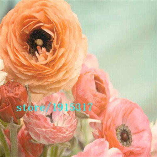 SVI 100 pezzi fiori ranuncolo, ranuncolo persiano per la casa e le piante di giardino fai da te persiano ranuncolo del seme del fiore di trasporto libero delle lampadine