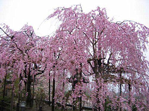 SVI 20 Fontana Rosa piangente ciliegio semi giardino di casa fai da te semi bonsai