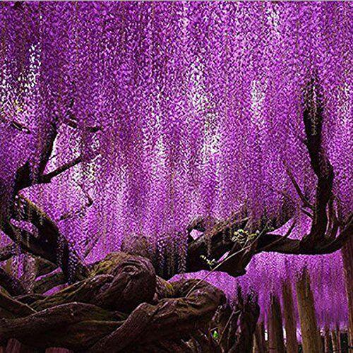 Sconosciuto Semi di glicine viola generico semi di glicine sinensis per giardino di casa fai da te pianta-100 pezzi