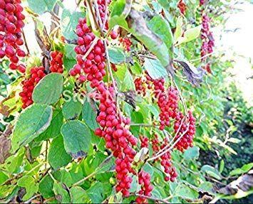 Vista Fai da te casa giardino piante 200 + semi cinese magnolia vite, schisandra chinensis, semi (frutto commestibile) spedizione gratuita