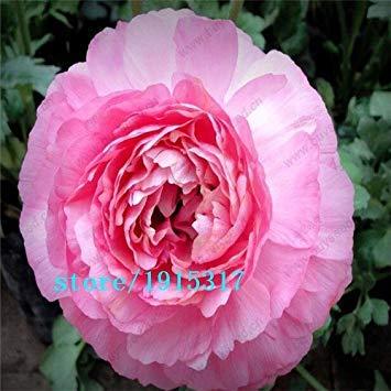 GEOPONICS Nero: 100 pezzi s, ercup persiano per la casa e giardino semi fai da te Persico ercup seme semi