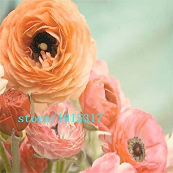 GEOPONICS Viola: 100 pezzi s, ercup persiano per la casa e giardino semi fai da te Persico ercup seme semi