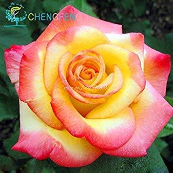 CUSHY 10 semi / pack di vendita caldo Semi viola glicine per il giardino di casa fai da te