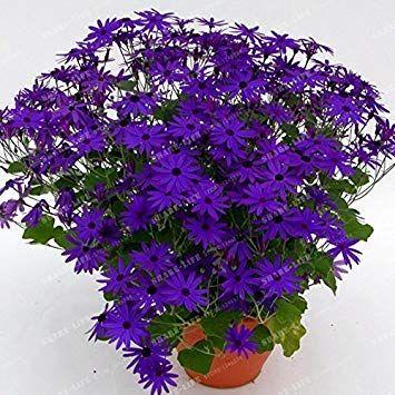 SANHOC I semi della confezione: Fioristi Cineraria Seed Pericallis hybrida Semi fai da te Casa e Giardino Decor Seeds 20 # 32251882ST