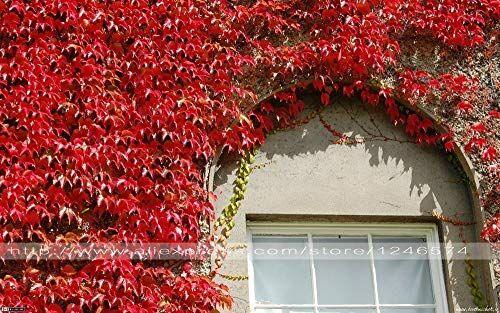 ASTONISH Pacchetto semi: 50pcs semi / Vite TRI per fai da te Casa e giardino esterno Semi di Bonsai Seeds Climber Spettacolare