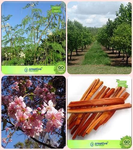 GEOPONICS Seme semi giardinaggio per giardino Bacchetta, sandalo semi, Prunus Pud, Caesalpinia pan Combo Per HomSEED verdura & Ombra / & & Seeds Ombra per seme dei semi (4 per pacchetto)