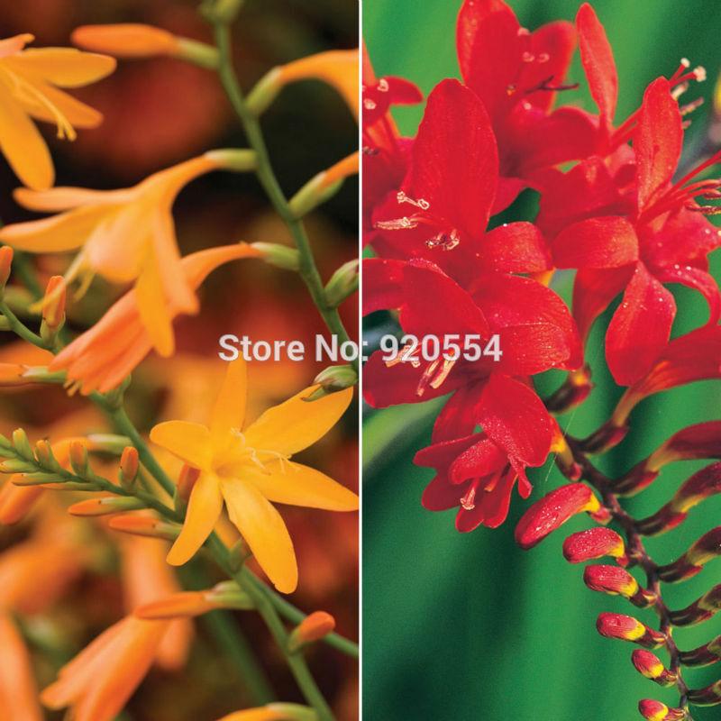 Unbranded 10pcs/lot Crocosmia ,Montbretia seeds Bonsai potted plant DIY home garden