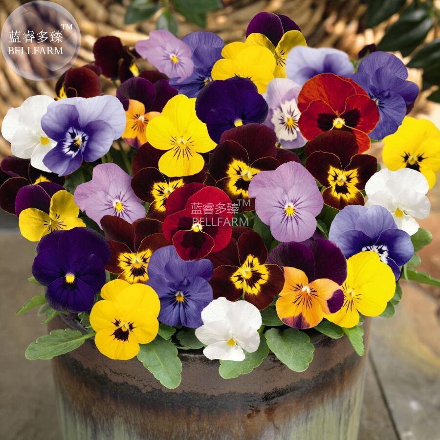 BEST PRICE Pansy Viola Tricolor Hardy Flower, 50 seeds DIY HOME GARDEN LG [3]
