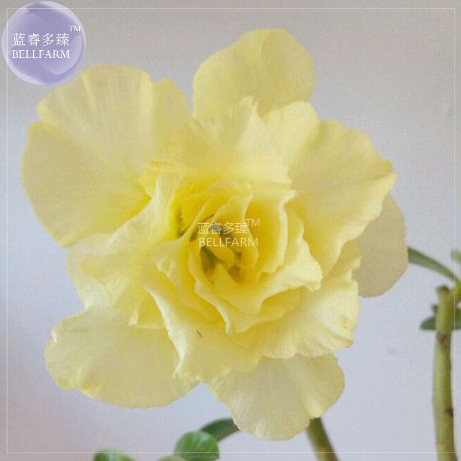 BEST PRICE Adenium Yellow Desert Rose Seeds, 2 seeds, 5-layer DIY HOME GARDEN LG