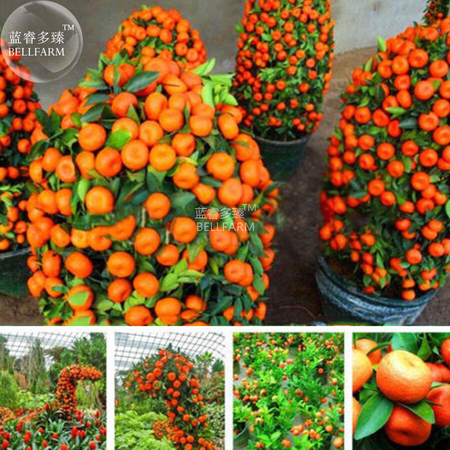 BEST PRICE Orange Bonsai Potted Fruit Tree Seeds, 20 seeds,DIY HOME GARDEN LG