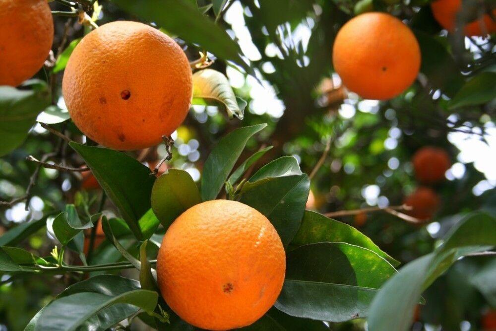 BEST PRICE 20 /Bag Bonsai  Orange Tree Seeds  , FS DIY Home Garden Fruit