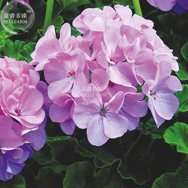 BEST PRICEGeranium Light Lavender-pink Flowers Seeds,10 seeds DIY HOME GARDEN LG