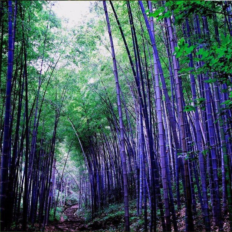 Unbranded 100pcs Rare purple Timor Bamboo Seeds Bambusa Lako, DIY Home Garden Plants