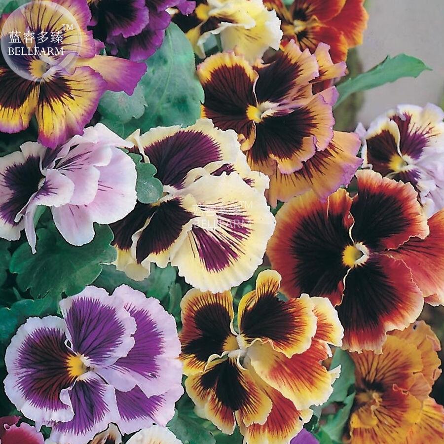 BEST PRICE Pansy Viola Tricolor Hardy Flower, 50 seeds DIY HOME GARDEN LG [4]