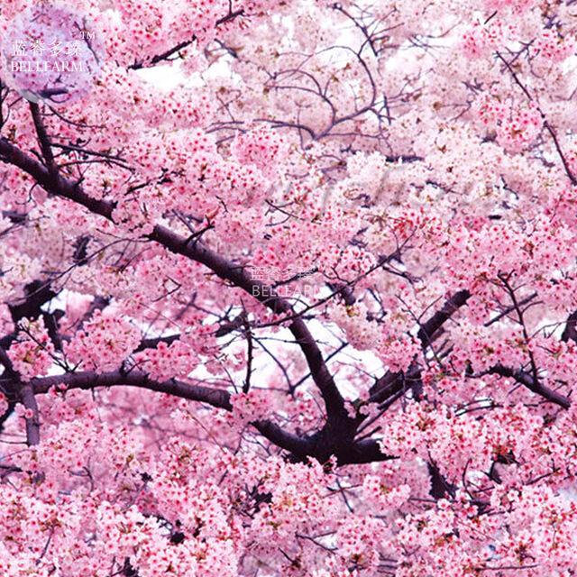 BEST PRICE Japanese Pink Cherry Blossom Sakura Tree, 20 seeds,HOME GARDEN DIY LG