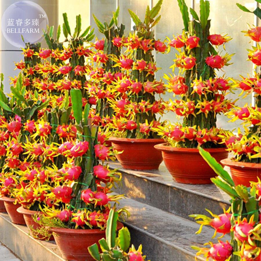 BEST PRICE100 seeds Dragon Fruit Pitaya Red ,FS DIY Home Garden Fruits