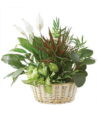 Blooms Today Classic Dish Garden Flower Delivery