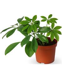 cyber-florist Schefflera potted plant