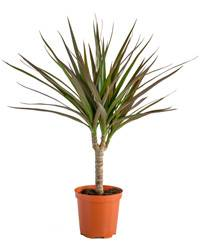 cyber-florist Dracaena potted plant