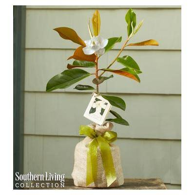 1-800-Flowers Magnolia Tree by Southern Living Small by 1-800 Flowers