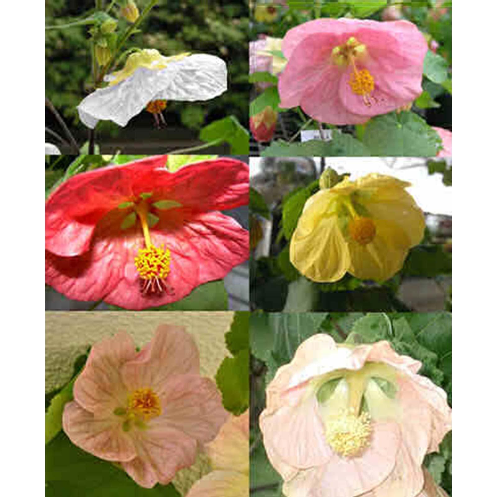 Mountain Valley Seed Company Seeds: Abutilon Flower - 100 Gardens- Bella Mix - Annual Gardening
