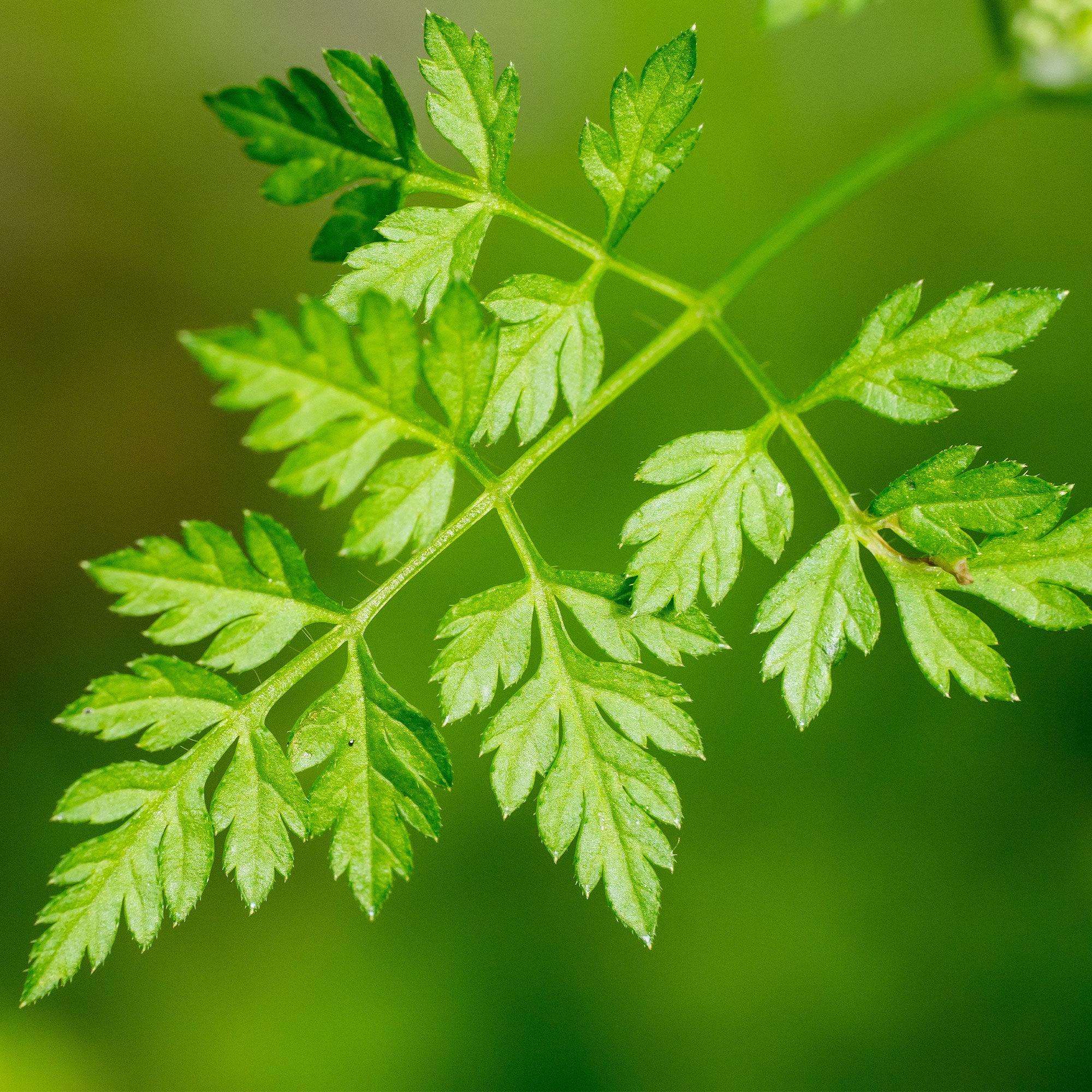 Mountain Valley Seed Company Chervil Seeds - Winter - 5 Lb Bulk ~896,000- Herb Garden & Microgreens
