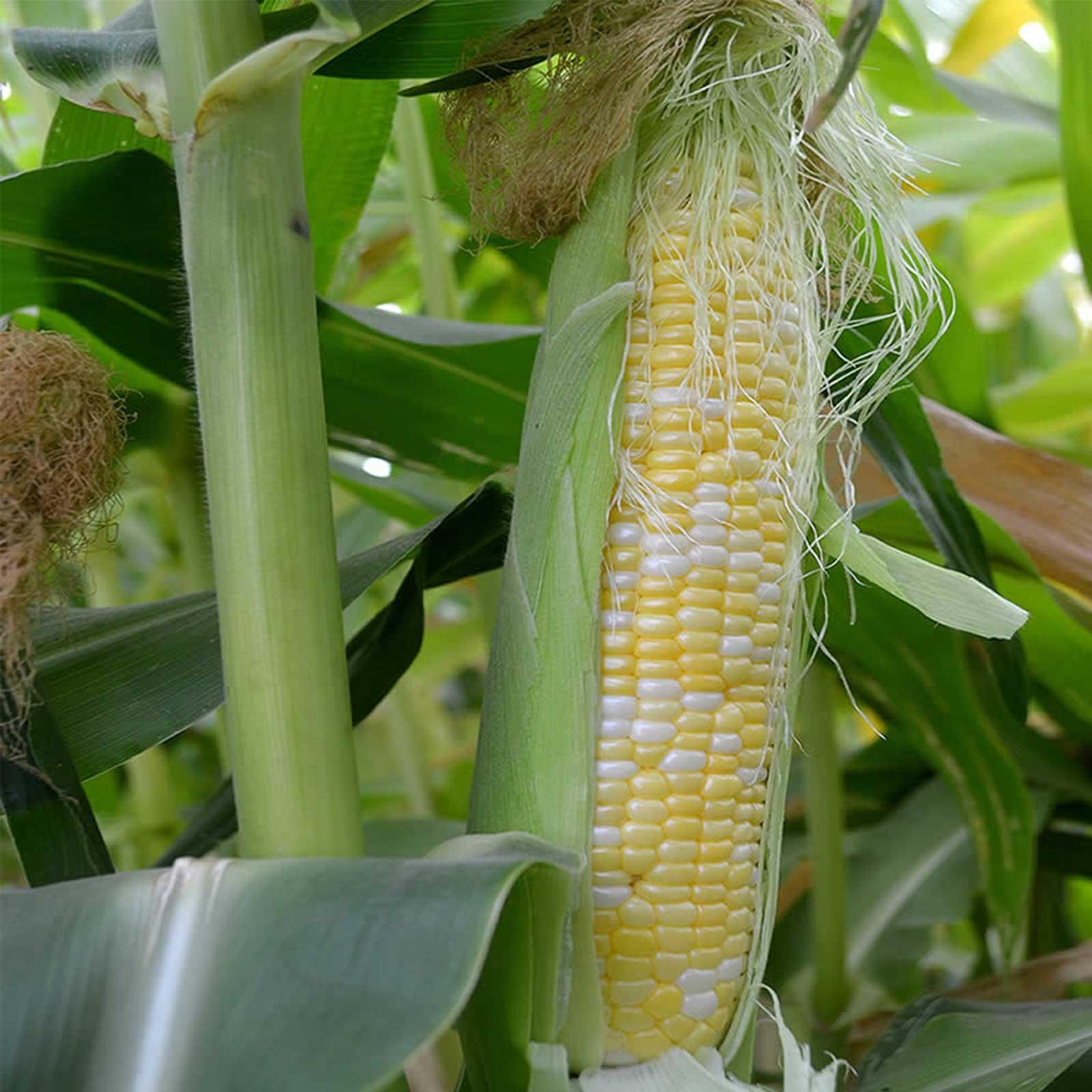 Mountain Valley Seed Company Peaches & Cream Hybrid Corn Garden Seeds - 25 Lb Bulk - Non-GMO