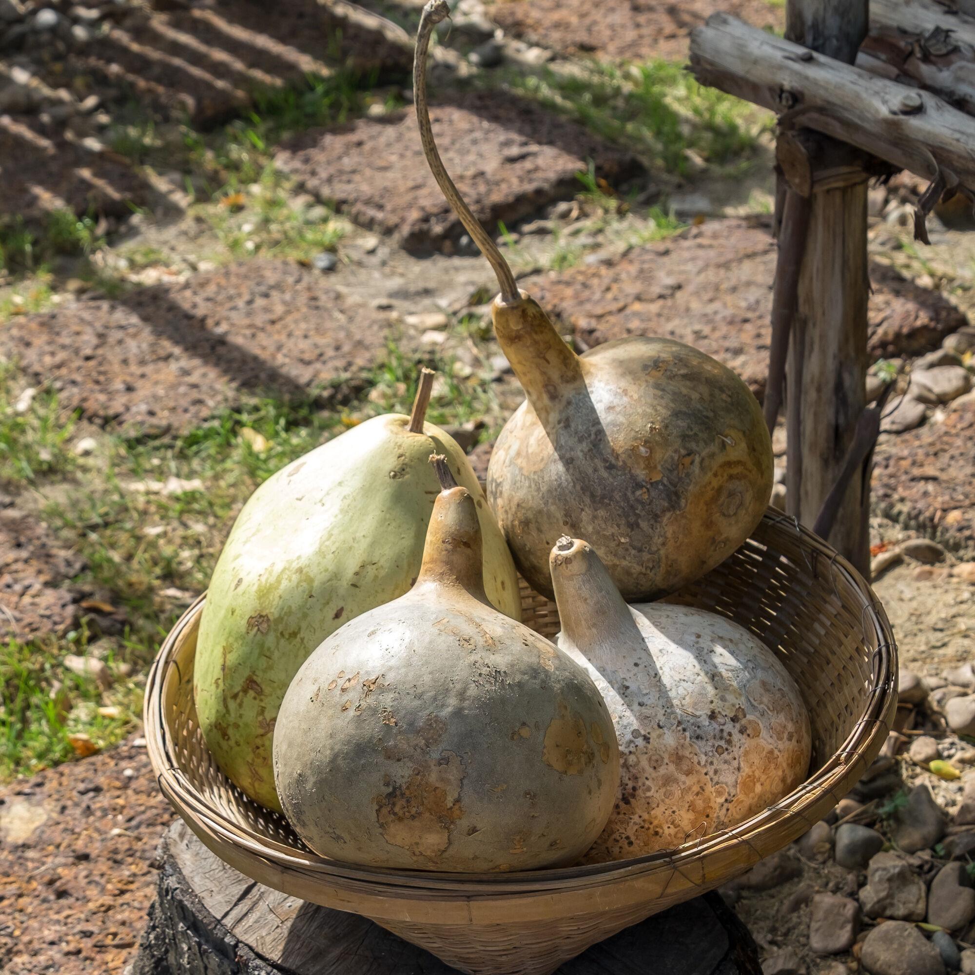 Mountain Valley Seed Company Gourd - Corsican - 1 Lb Bulk ~13,440 Seeds - Garden Vegetable - Heirloom