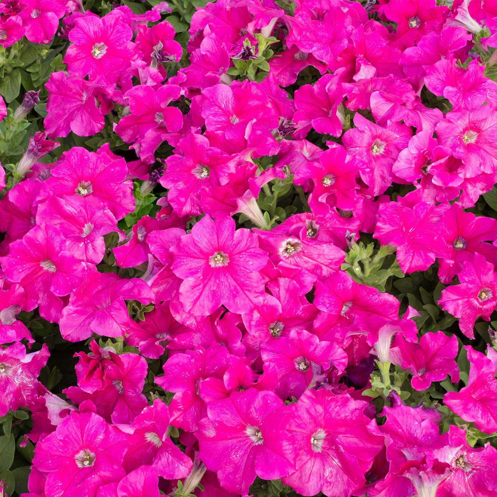 Mountain Valley Seed Company Seeds: Petunia -Picobella Series Flower Garden-Pelleted -Carmine Color