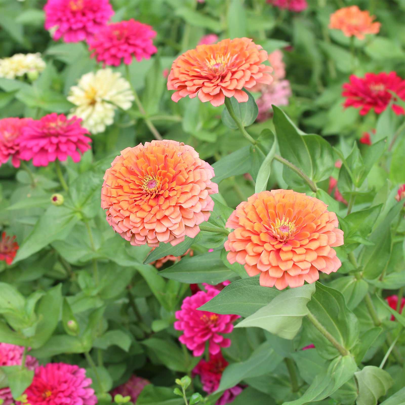 Mountain Valley Seed Company Seeds: Zinnia Flower Garden - Dreamland Mixture - Orange - 500 Seeds