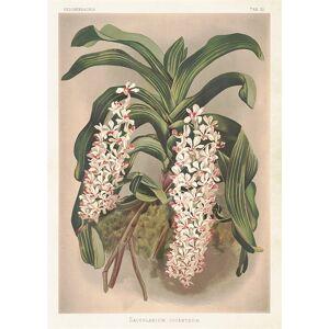 Sköna Ting Poster Orkidé